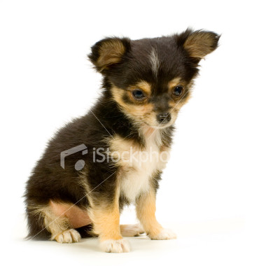 Ist2_2433214-long-haired-chihuahua-puppy