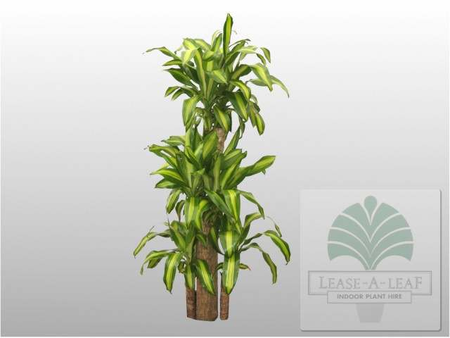 Dracaena_massangeana_fragrans_web2